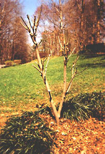 Willows (pruned)
